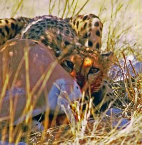 Гепард поймал антилопу Томпсона