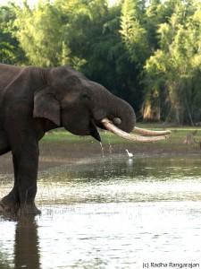 Самец индийского слона