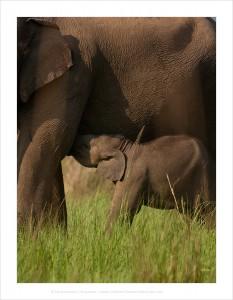 Слоненок индйского слона