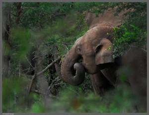 Слон в лесу за едой