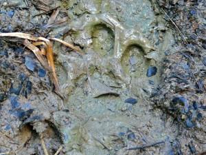 След ягуара на грязи