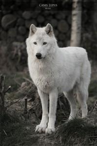 Подвид волка с белой шерстью