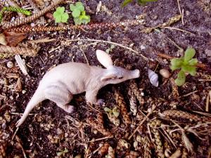 Детеныш трубкозуба