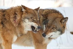 Пара серых волков