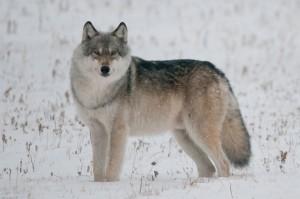 Серый волк или обыкновенный волк