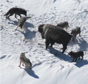 Стая волков окружила бизона