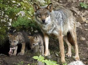 Волчица и волчата у норы