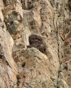 Гнездо беркута на скалах