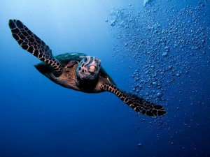 Морская черепаха в естественной среде