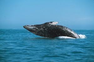Прыжок серого кита