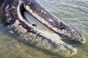 Голова серого кита
