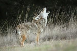 Вой койота часто пугает туристов