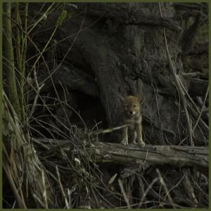 Детеныш койота