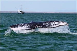 Хвост серого кита
