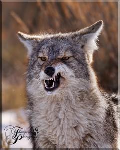 Оскал койота довольно грозен
