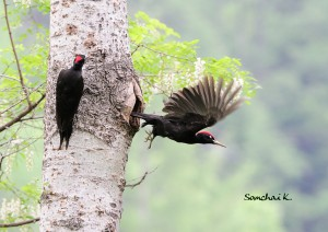Пара черных дятлов готовит гнездо