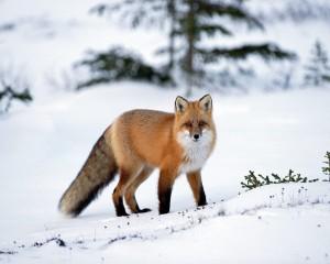 Лисица рыжая или обыкновенная