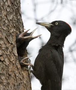 Птенцы черного дятла в дупле