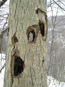 Сквозные дупла в деревьях, сделанные желной