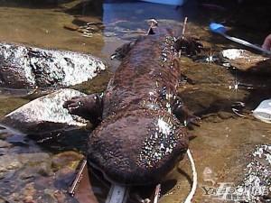 Самец гигантской японской саламандры