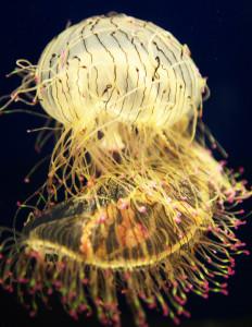 Медуза цветочная шляпка