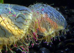 """Медузы """"Цыеточные шляпки"""""""
