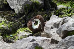 Самцы горностая выясняют отношения