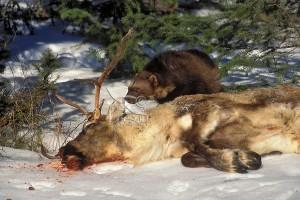 Росомаха рядос с тушей убитого ею оленя