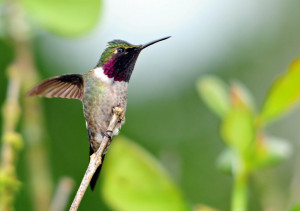 Самец колибри