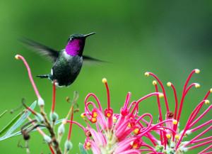 Аметистовый колибри в полете