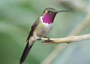 Аметистовый колибри