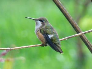Самка аметистового колибри
