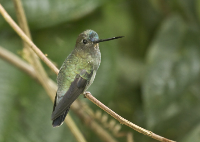 Blue-fronted-Lancebill
