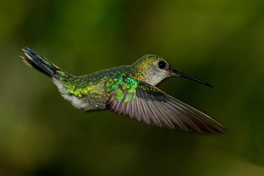 Чешуйчатогрудый колибри