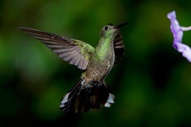 Чешуйчатогрудый колибри в полете