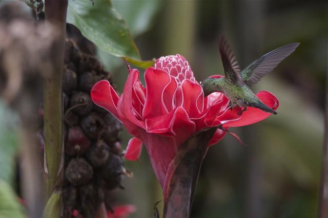 Колибри в процессе добычи нектара