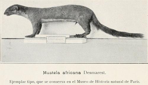 mustela africana