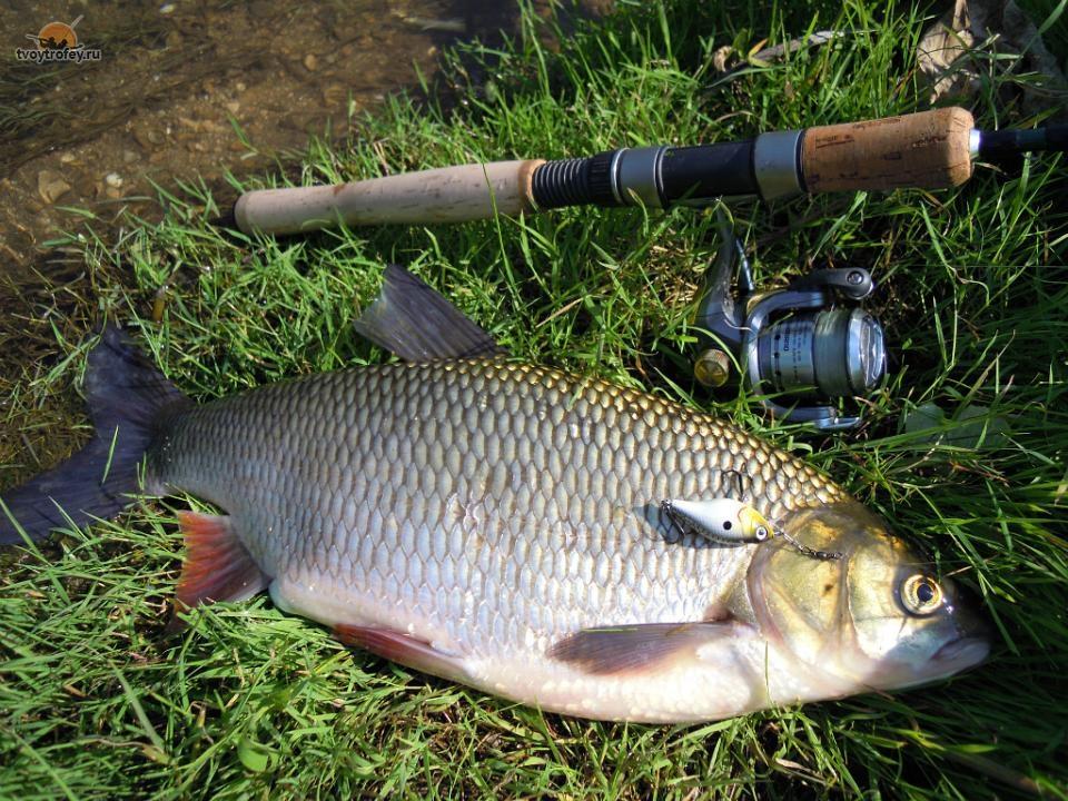 Язь - желанная добыча любого рыболова
