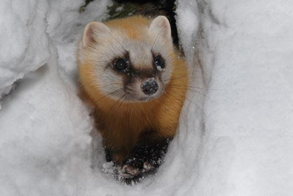 Японский соболь в снегу